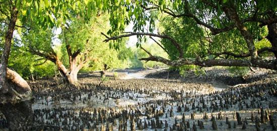 sundarban the forrest of mangrove