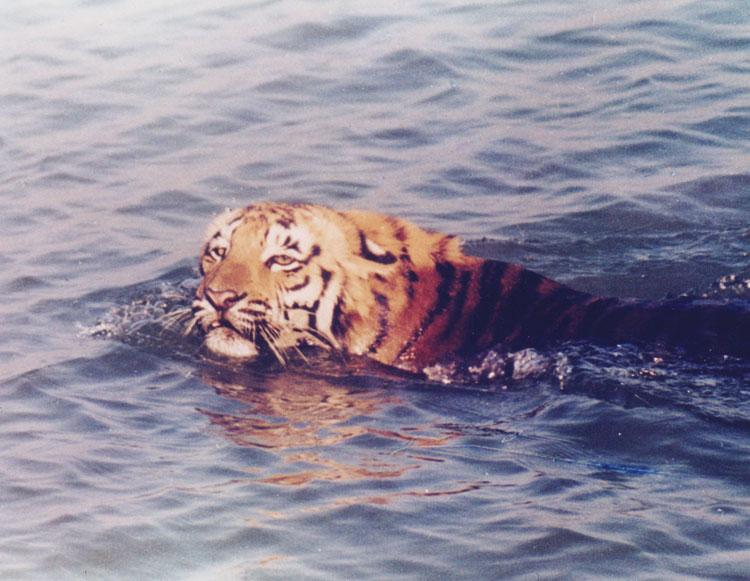 kalyan_dey_tiger_photo_1.jpg